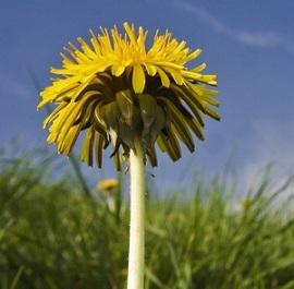 Pampelišku někdy vyhazujeme jako plevel. Přitom je velmi zdravá!