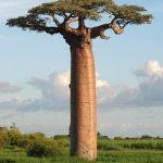 Plody a prášek z baobabu – super pro naše zdraví