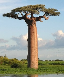 Plody a prášek z baobabu - super pro naše zdraví