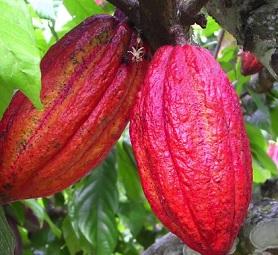 Pravé kakao a účinky na zdraví