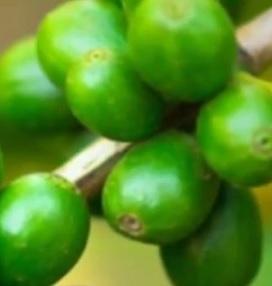 Zelená káva a hubnutí - jde to?