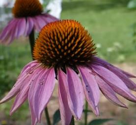 Echinacea (Třapatka nachová) a těhotenství - ano nebo ne?