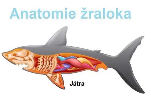 Ve žraločích játrech je mnoho skvalenu.