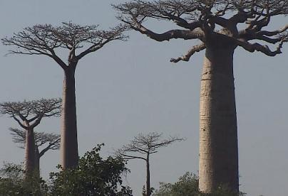 Takto vypadá baobab (strom)