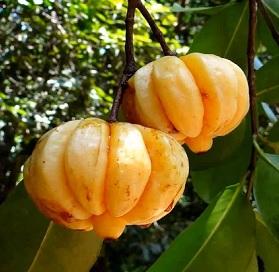 Garcinie kambodžská (Garcinia cambogia)