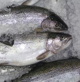 Při výběru ryby se dívejte hlavně na její čerstvost.
