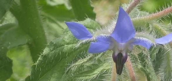 Takto vypadá květ butnáku