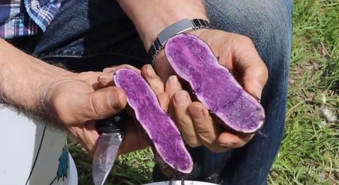 Krásné a zdravé fialové brambory.