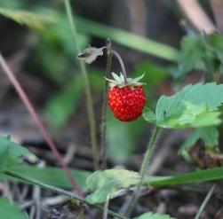 Nejlepším zdrojem kyseliny ellagové jsou lesní jahody.
