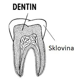 Zubní sklovina je nejtvrdší tkáň v těle obratlovců včetně člověka.