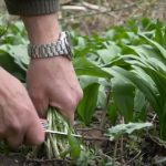 Medvědí (divoký) česnek jako hit posledních let – zkuste pesto i jeho pěstování