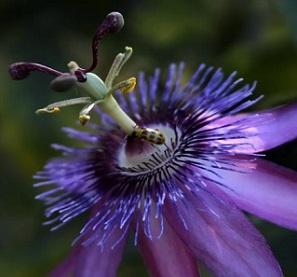 Mučenka je rostlina jejíž nadzemní části jsou používány v různých formách k poskytnutí přirozených léčebných účelů a i potravinových příchutí.