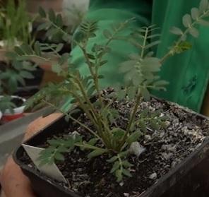 Kotvičník zemní (Tribulus Terrestris) a jeho účinky na zdraví