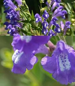 Šišák bajkalský (lat. Scutellaria baicalensis) je populární lék mezi bylinkáři a těmi lidmi, kteří hledají řešení nemocí v přírodních prostředcích a bylinkách.