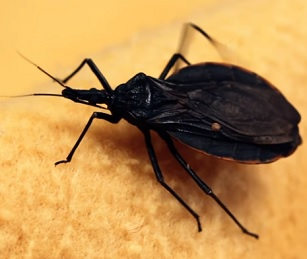 Chagasovu chorobu, zvanou též americká trypanosomóza, přenáší bodavé ploštice rodu Triatoma.