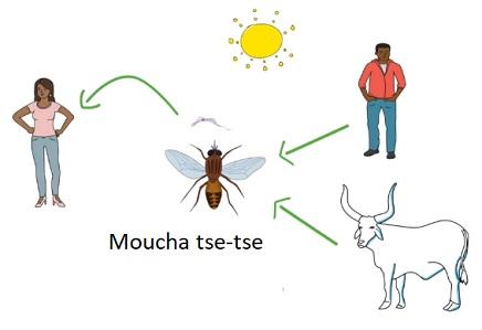 Původce spavé nemoci, prvok trypanosoma, je přenášen mouchou tse-tse.