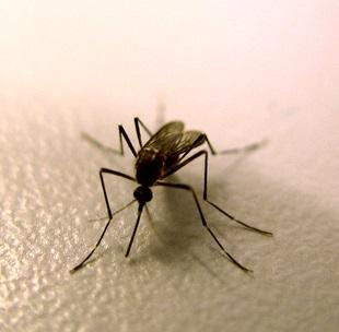 Virové hemoragické horečky často přenáší komáři. Dále pak jsou přenašečem často i krysy nebo netopýři.