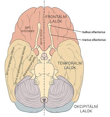 Části mozku