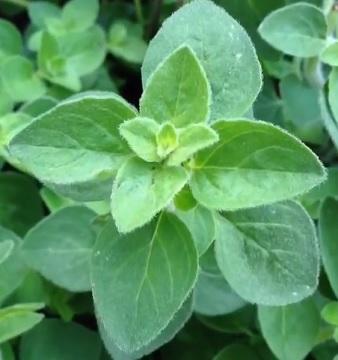 Oregano je silným zdrojem karvakrolu.
