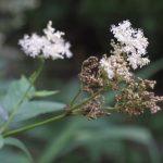Tužebník jilmový – jak může pomoci vašemu zdraví?