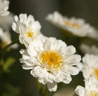 Řimbaba obecná je známá jako středověký aspirin