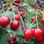 Alergie na třešně – co je dobré vědět?