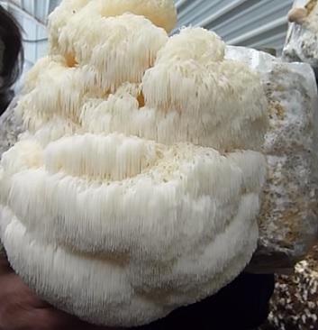 Korálovec ježatý (Hericium erinaceus) a zdraví – jaké má účinky a benefity