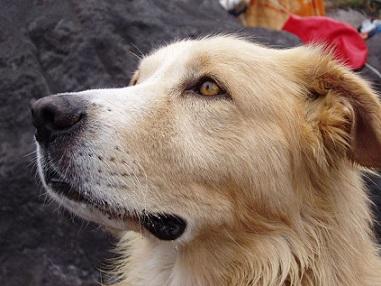 Alergie na psy - co ji způsobuje a jak ji léčit?
