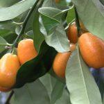Ovoce kumkvát (kumquat) – jak chutná a proč je dobré pro vaše zdraví?