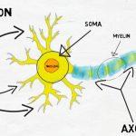 Co je to neuron a jakou roli hraje v nervovém systému?