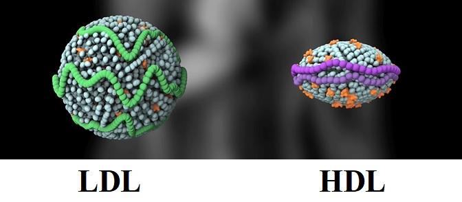 LDL částice se vyskytují v různých velikostech  a zdá se, že větší z nich nejsou problémem. Pouze tak zvané menší LDL částice o vyšší densitě snadno procházejí cévami a usazují se v jejich stěnách a v případě zoxidování zánětlivě poškozují cévy.