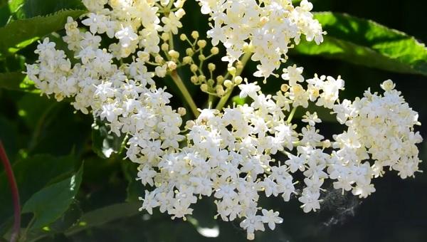 Takto krásně vypadá bezový květ
