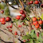 Růže šípková neboli šípek – jaké má účinky a vliv na zdraví?