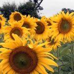 Slunečnice – jaké má využití a účinky na zdraví?