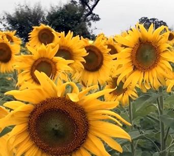 Jak slunečnice může prospět našemu zdraví?