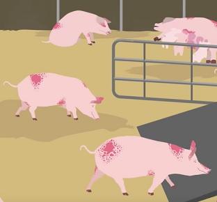 Africký prasečí mor - pro člověka není zatím nebezpečný, pro prasata smrtelný