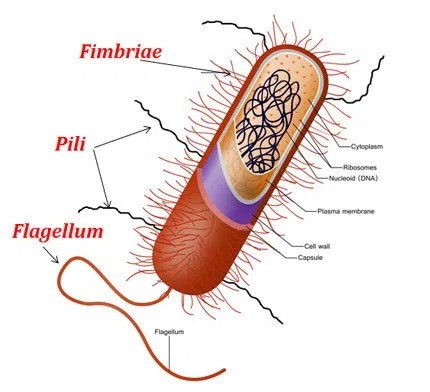 Takto nějak může vypadat bakterie