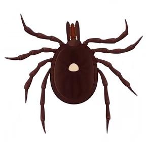 Krymsko-konžská hemoragická horečka je obvykle přenášena klíšťaty.