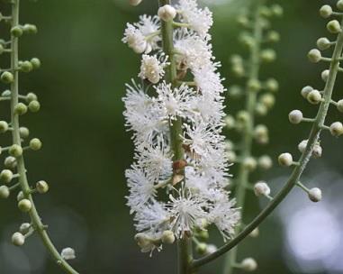 Ploštičník hroznatý a jeho účinky na naše zdraví - na co je dobrý čaj z této bylinky?