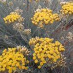 Smilový olej (Helichrysum italicum) a jeho účinky – v čem může pomoci?