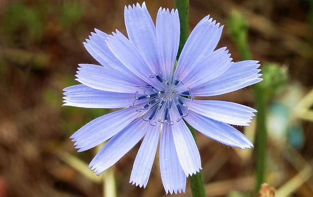 Takto krásnou modrou barvu může mít květ čekanky.