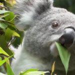 Esenciální olej Eukalyptus citronový (Eukalyptus citriodora) – účinky a kontraindikace