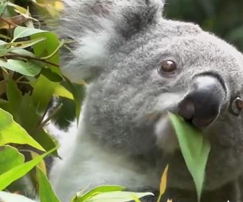 Potravní specializace koalů je poněkud monotematická – jedí jen listy blahovičníků (eukalyptů), kterých je zhruba 680 druhů