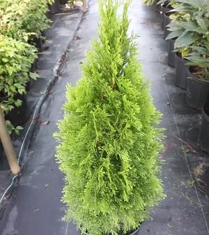 Zerav západní (Thuja occidentalis) je stálezelený jehličnatý strom čeledi cypřišovitých. Pochází ze Severní Ameriky, olej se vyrábí z jehličí.