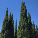 Esenciální olej Cypřiš (Cupressus sempervirens) – účinky a kontraindikace