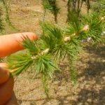 Esenciální olej z modřínu (Larix decidua) – účinky, vlastnosti a kontraindikace