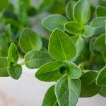 Esenciální olej Tymián thujanol – vlastnosti, účinky a kontraindikace