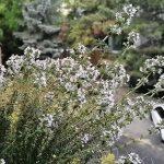 Esenciální olej Tymián thymol (Thymus vulgaris var. thymyloferum)