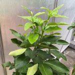 Esenciální olej Bergamot (Citrus bergamia) – účinky, vlastnosti, kontraindikace