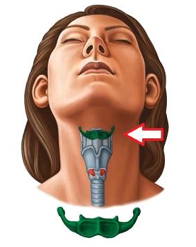 Hyoidní kost (nebo jednoduše hyoid)